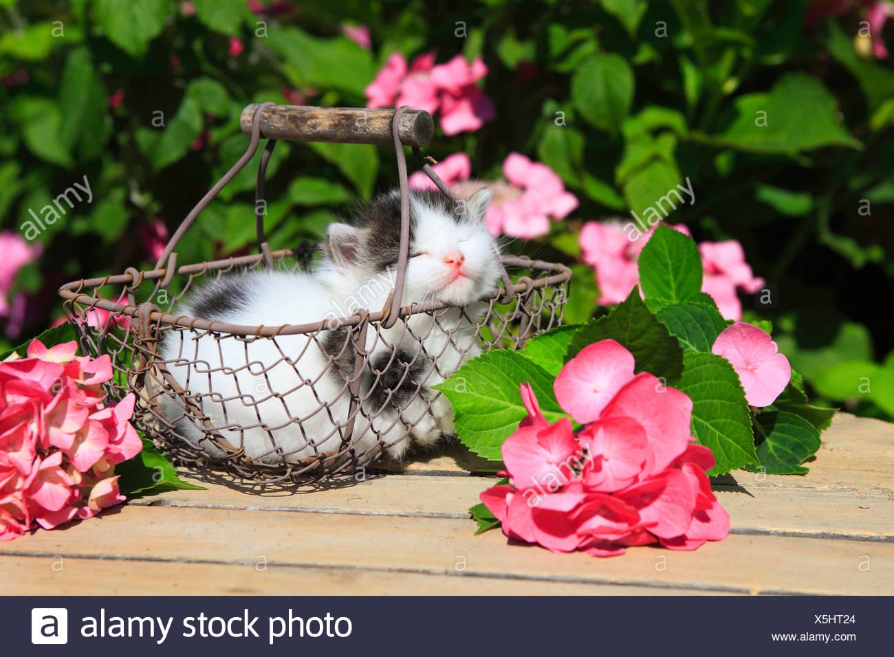 3 weeks, flower, flowers, garden, house, home, Animal, domestic animal, pet, young, cat, basket, kitten, baskets, tiredness, sle - Stock Image