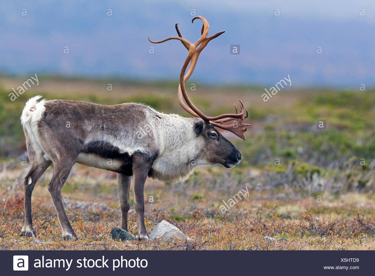 Reindeer (Rangifer tarandus), male in the tundra. Sweden - Stock Image