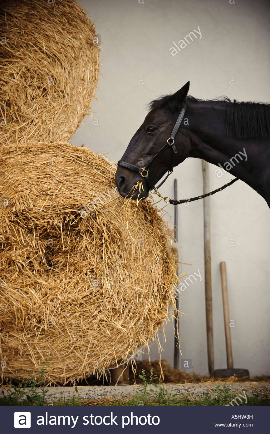 Horse standing outside eating hay - Stock Image