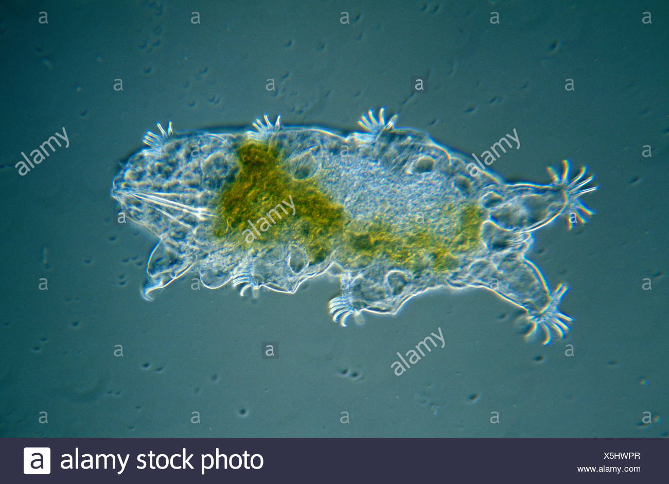 Tardigrade (Echiniscoides sigismundi) microscopic image, animal is less than one mm in length, can enter cryptobiosis to withstand temperature and moisture extremes - Stock Image