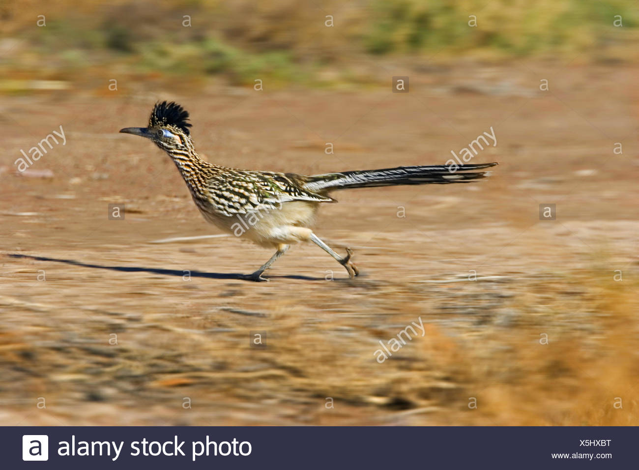 road-runner, roadrunner (Geococcyx californianus), running female, USA, New Mexico - Stock Image