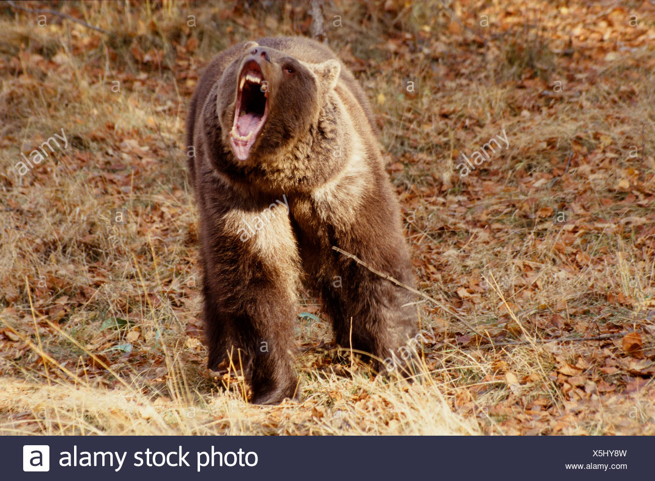 Brown Bear Roaring showing jaws & teeth Captive Montana Winter - Stock Image