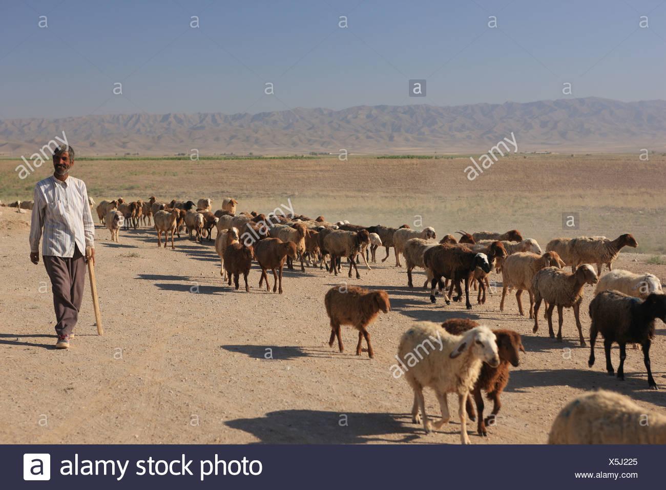 herd, flock, drove flocks. sheep, lamp, shepherd, animals, livestock, pasturage, Iran, silk road, man, on the way, en route, in - Stock Image