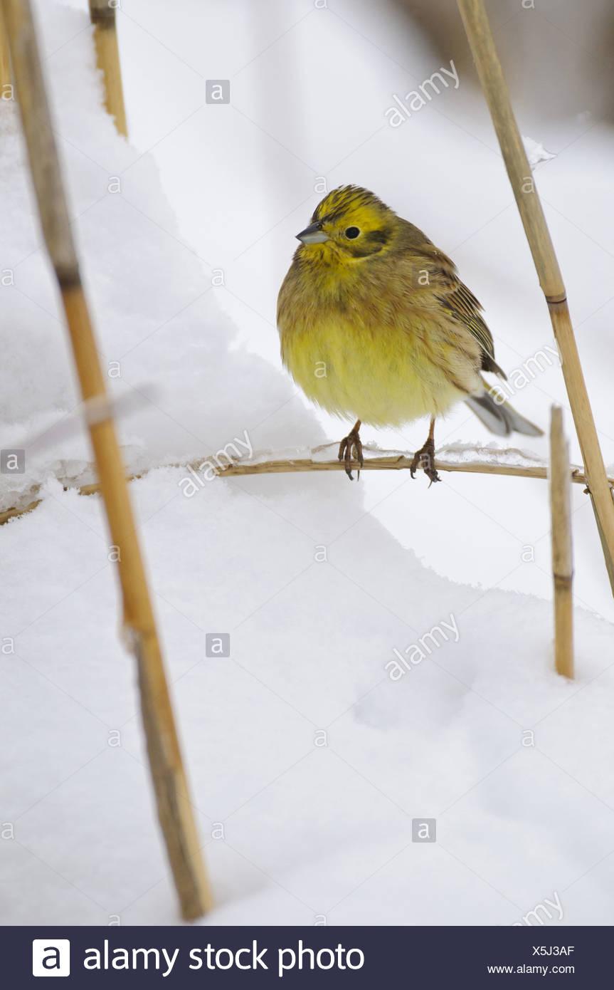 Yellowhammer in snow, Emberiza citrinella, Lower Saxony, Germany, Europe - Stock Image