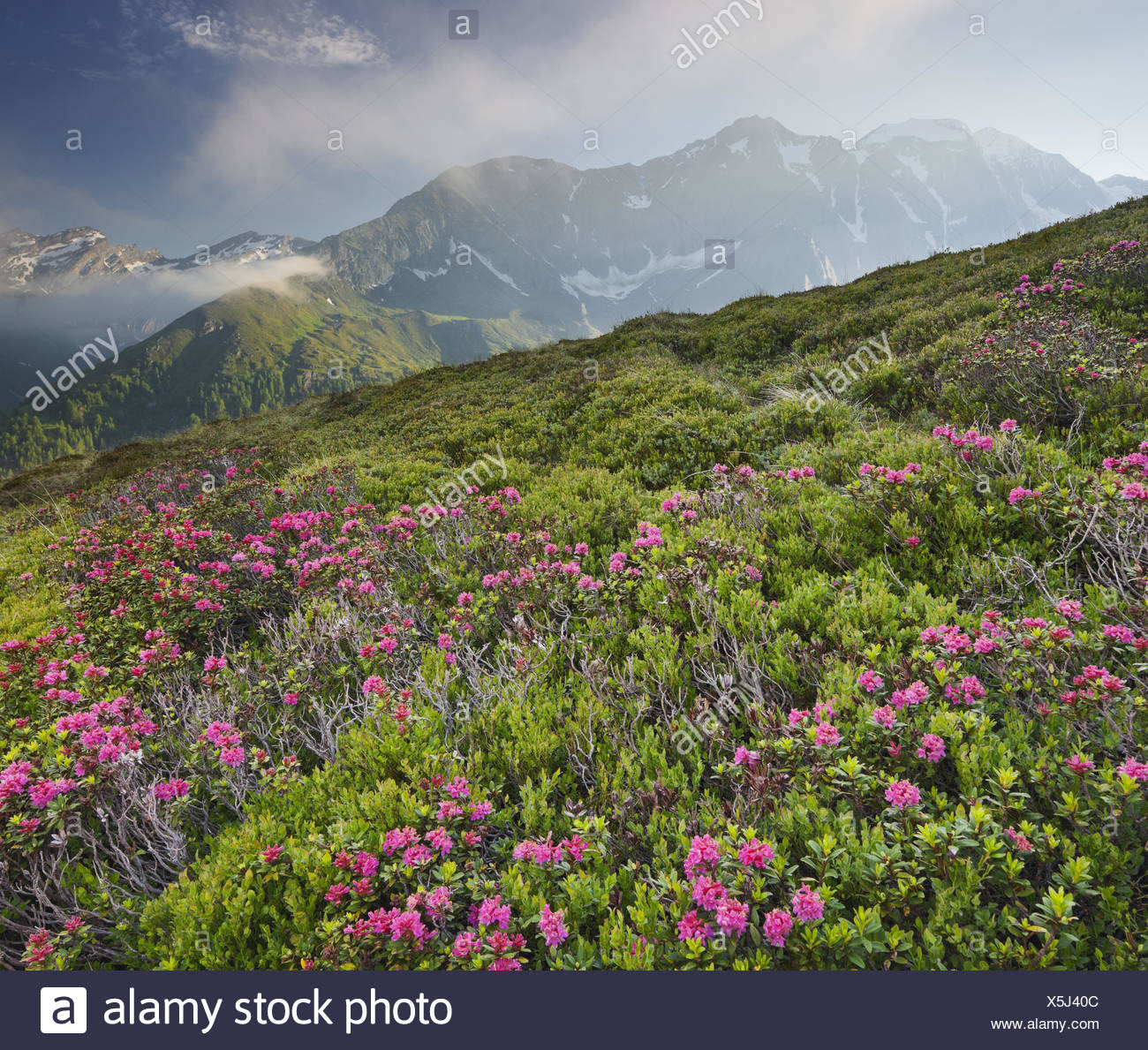 View from Oberberg against Hochfeiler, 3510 m, alpine rose, Pfitscher Tal (valley), South Tyrol, Italy, Stock Photo