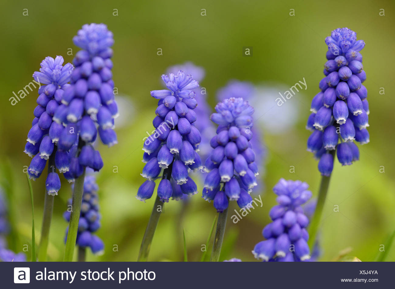 grape hyachinth (Muscari spec.), some inflorescenses Stock Photo