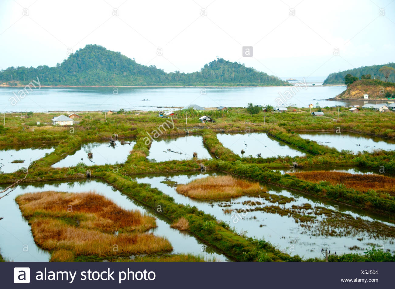 Saltwater intrusion caused by the 2004 tsunami destroys rice paddies. - Stock Image