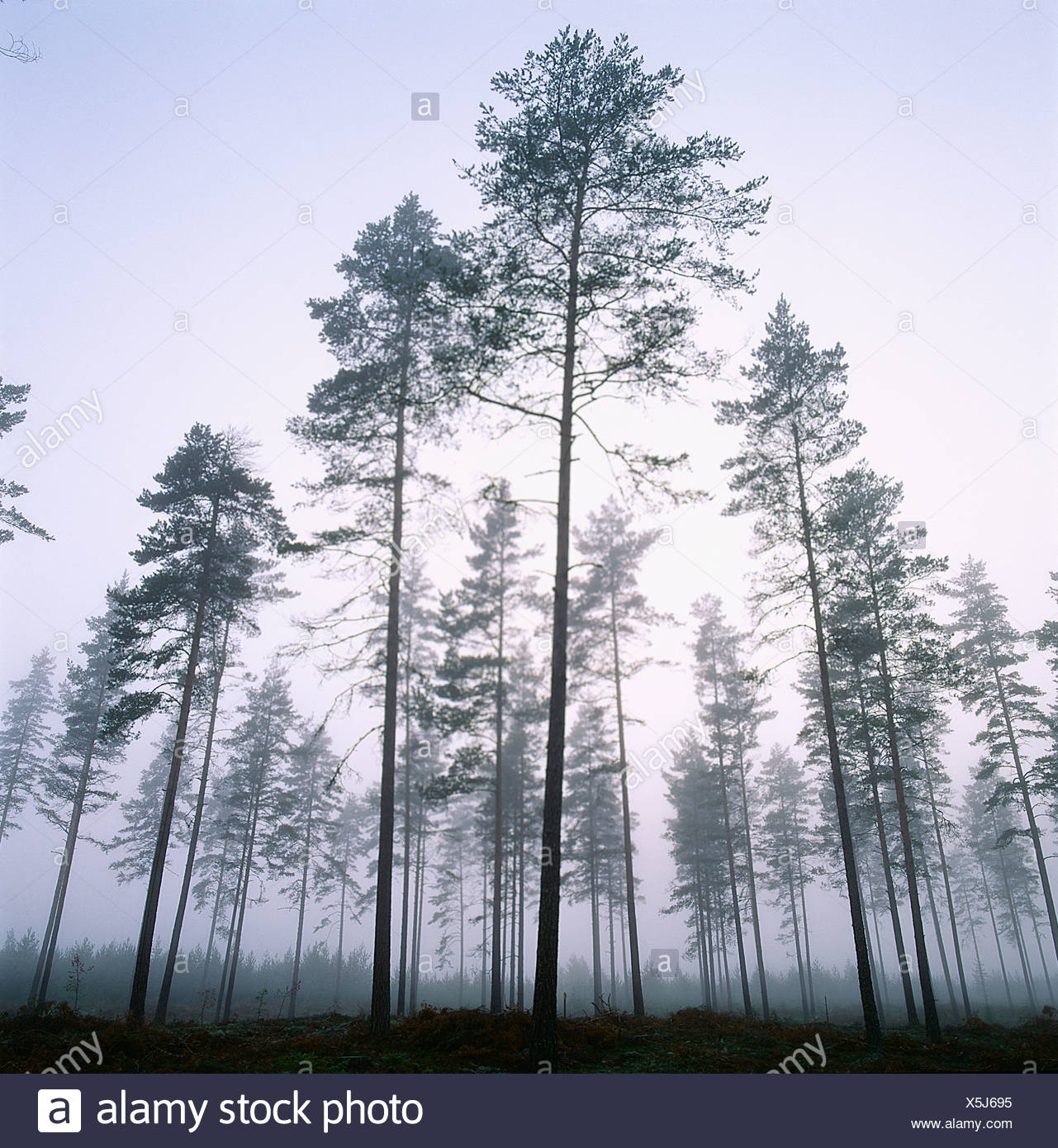 View of coniferous forest - Stock Image