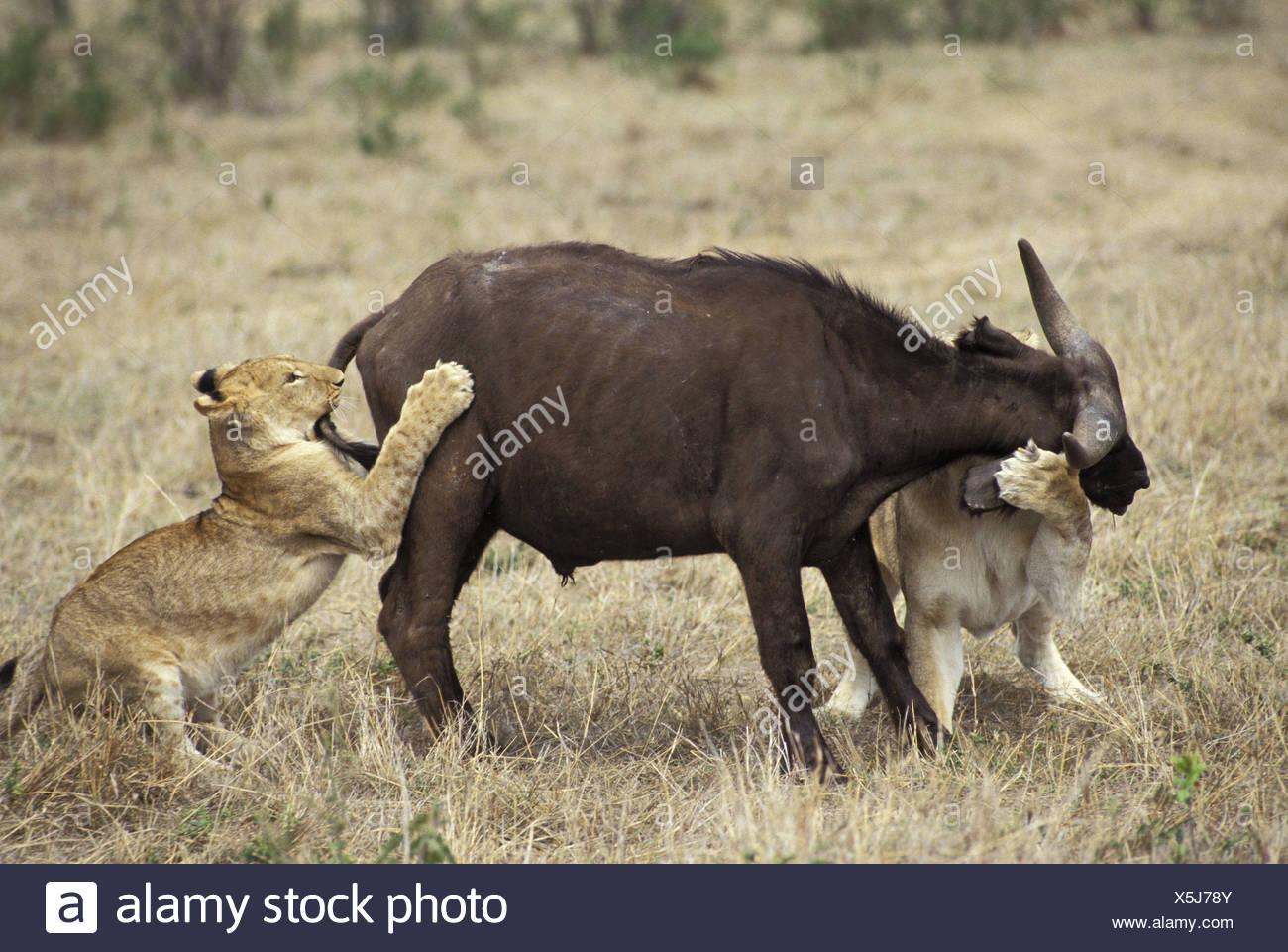 zoology / animals, mammal / mammalian, Felidae, Lion