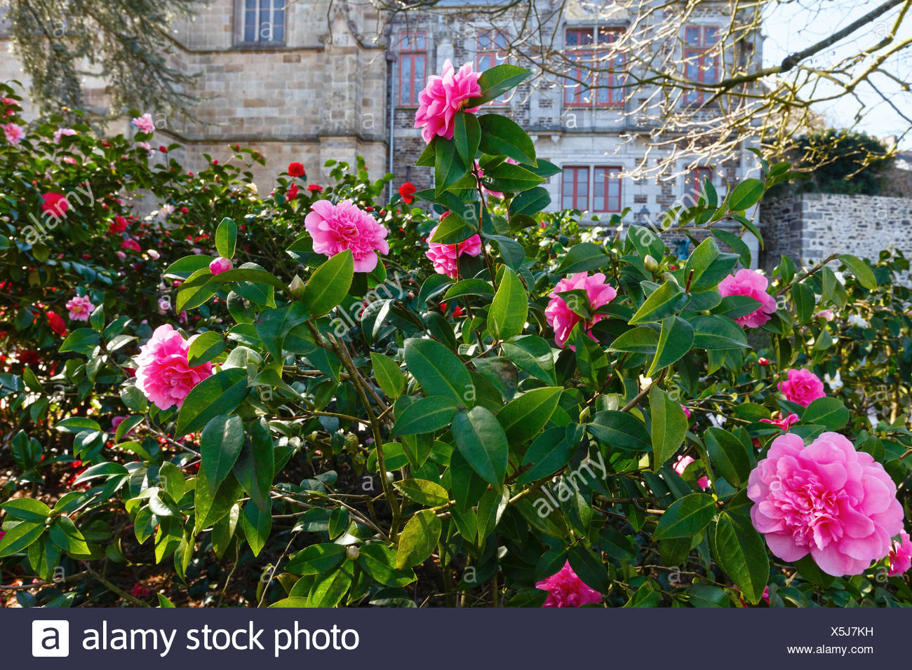 Blossoming Camellia Bush With Pink Flowers Stock Photo 278840341