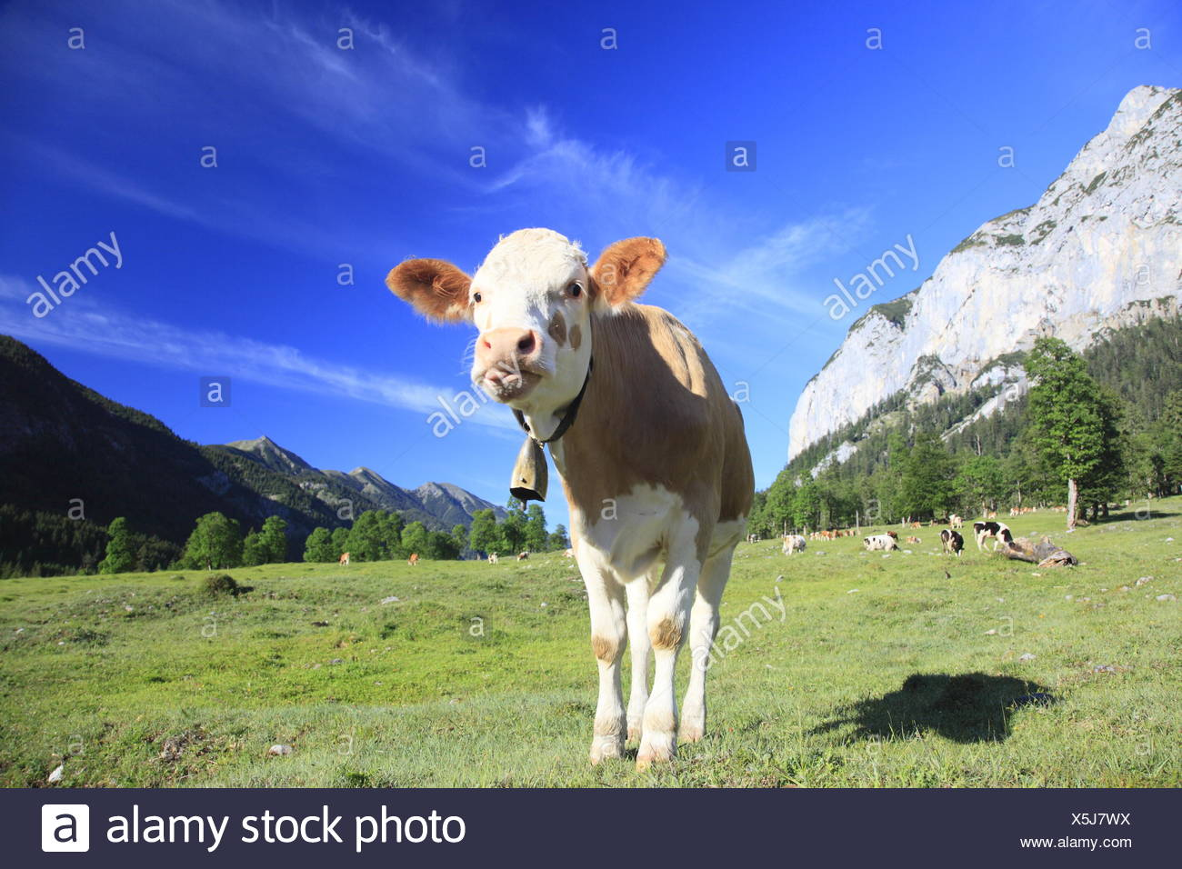 funny cow - Stock Image