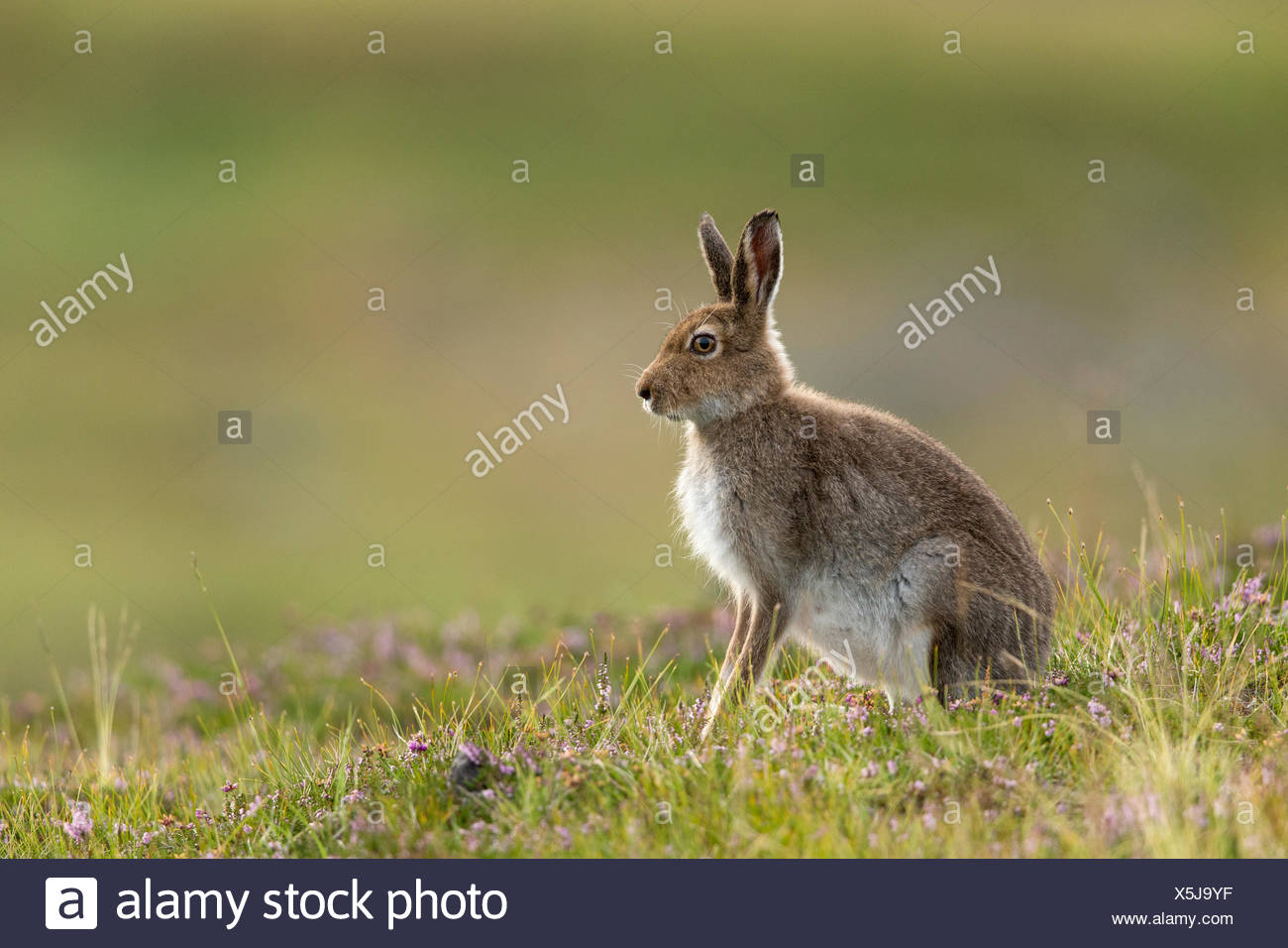 Mountain Hare (Lepus timidus) in summer pelage on heather moorland. Scotland, UK. - Stock Image