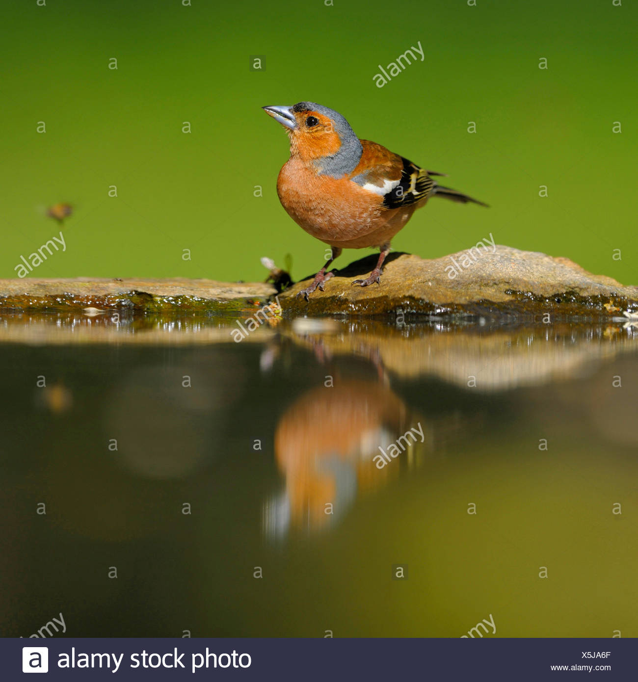 chaffinch (Fringilla coelebs), male drinks at a bird bath, Germany - Stock Image