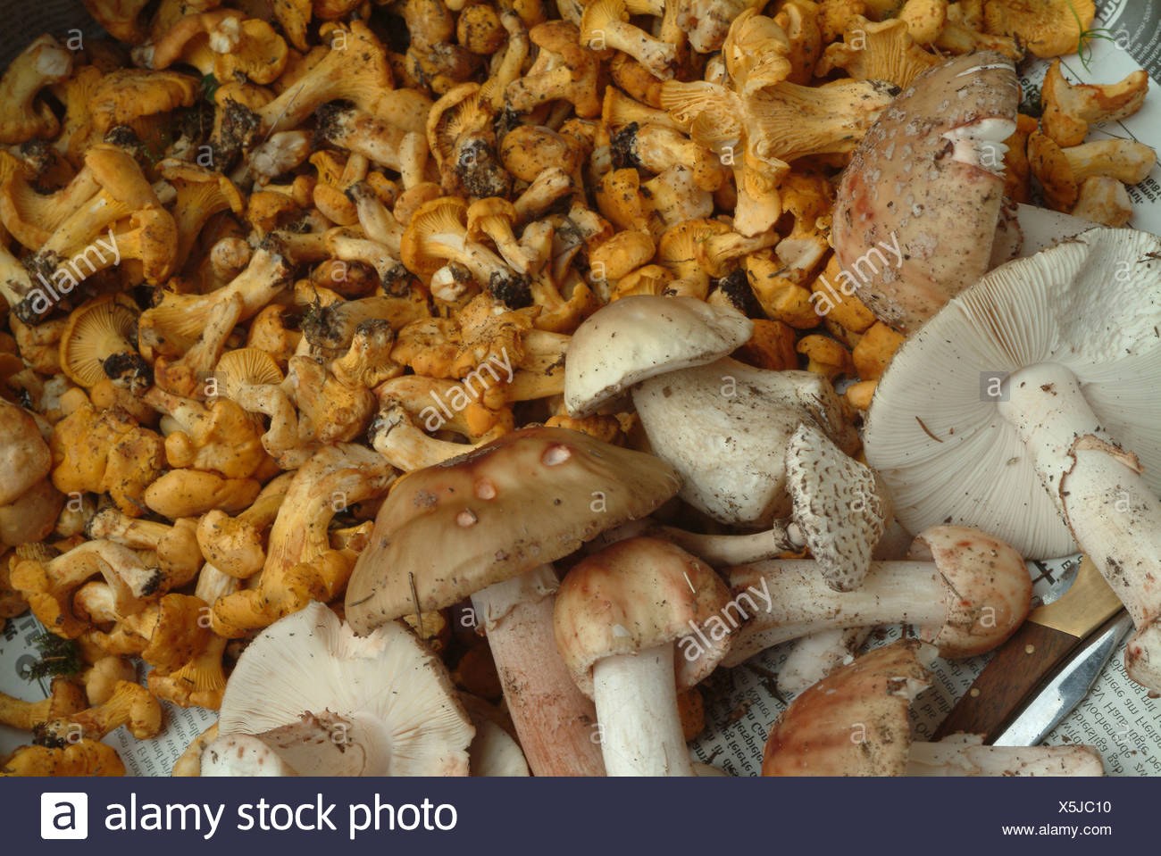 Pilze - Mushrooms - Stock Image