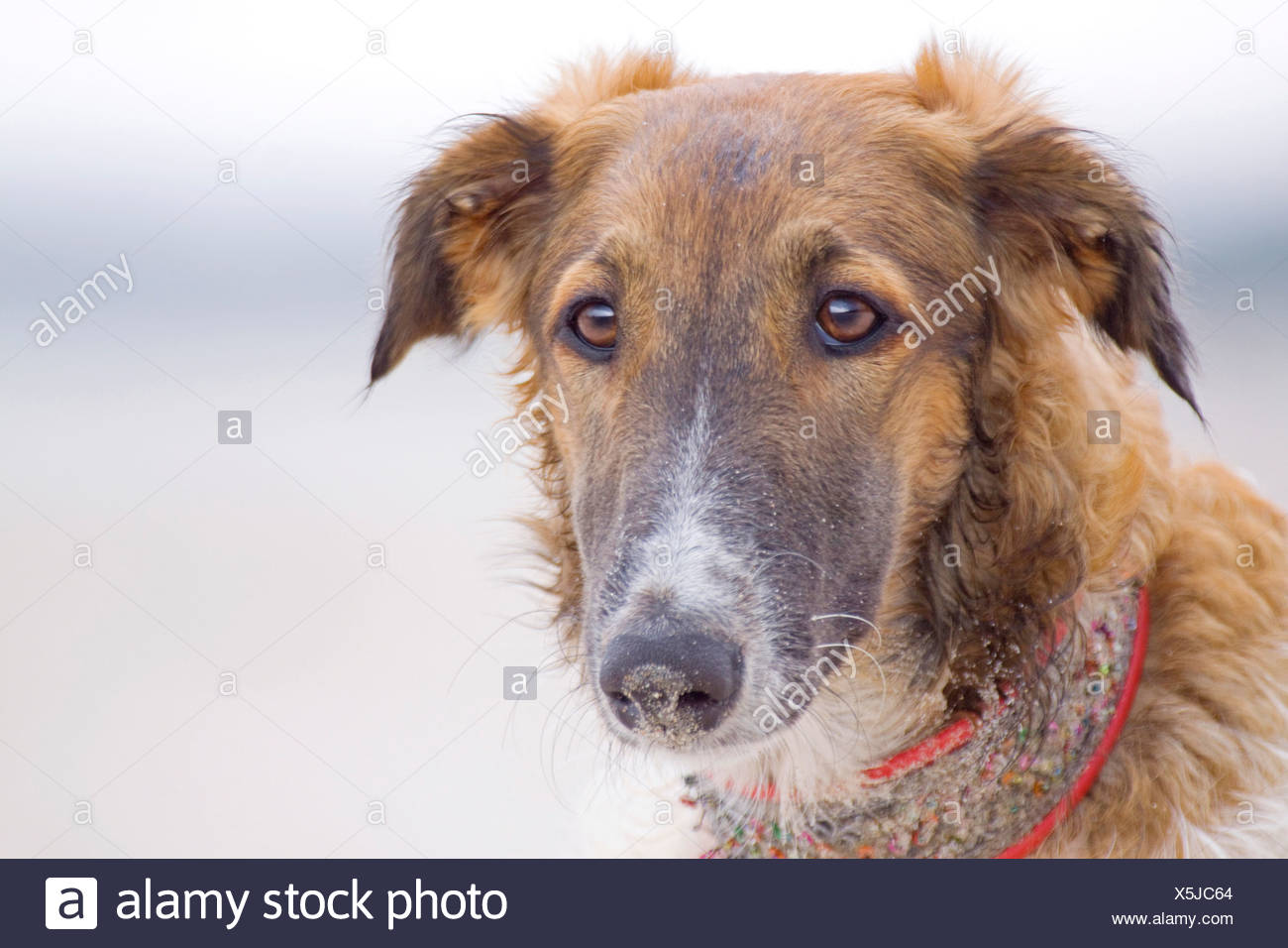 Barzoi dog portrait Stock Photo