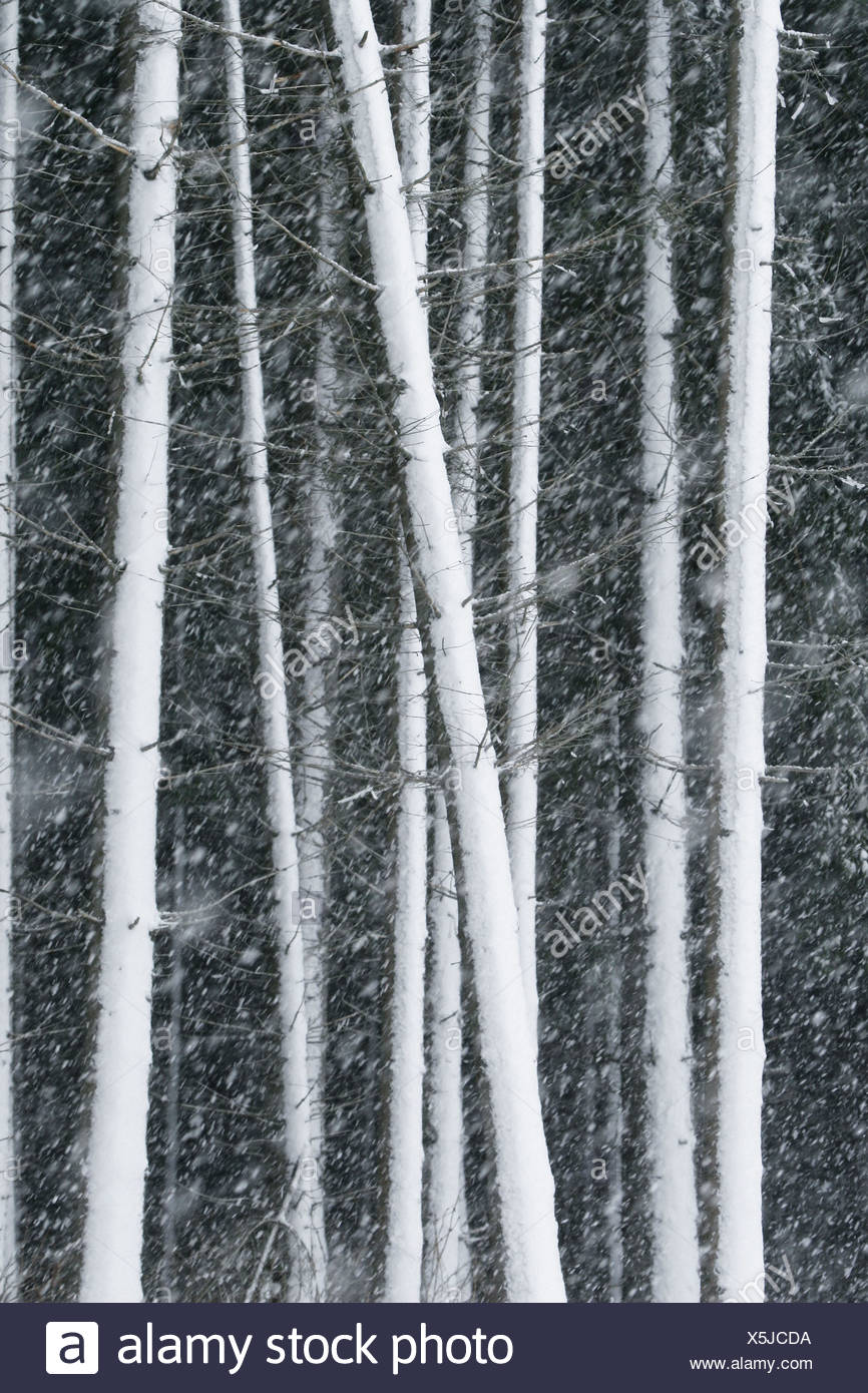 Snowstorm in a spruce forest (Picea abies). Bavarian Forest National Park (Nationalpark Bayrischer Wald), Bavaria, Germany Stock Photo
