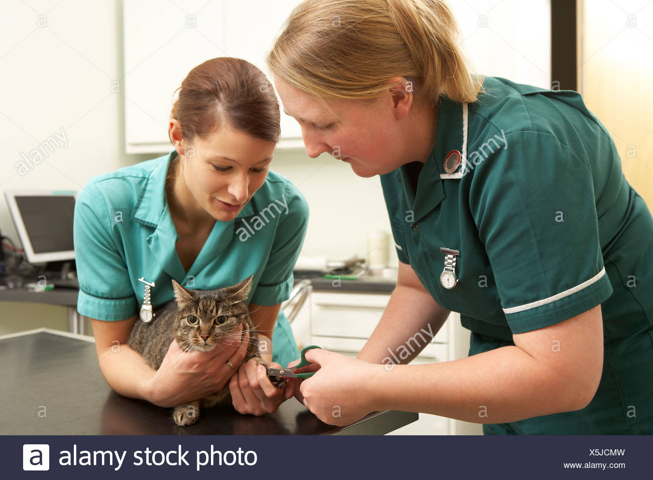 Female Veterinary Surgeon And Nurse Examining Cat In Surgery - Stock Image
