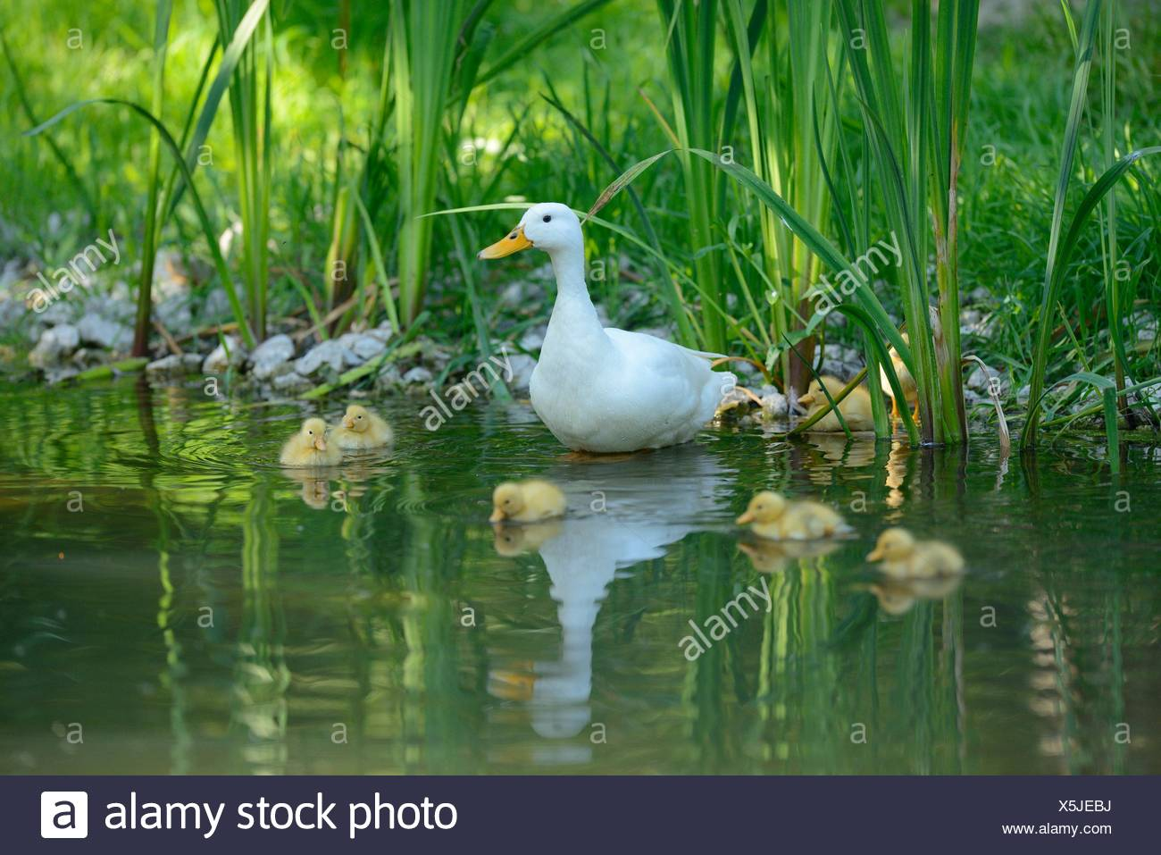 Long Island duck mother with her chicks at lakeshore - Stock Image