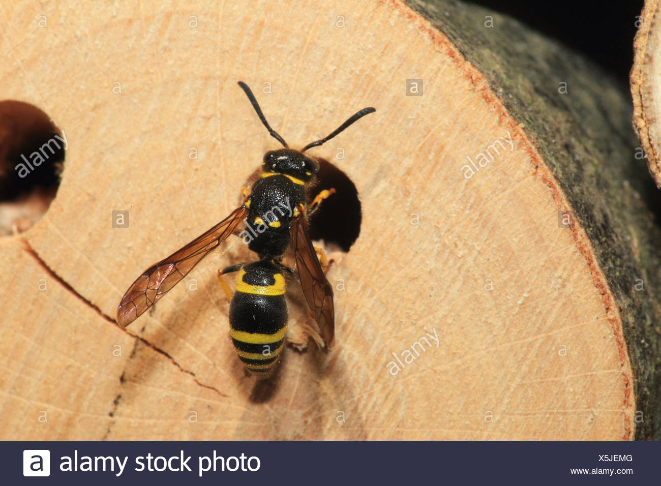 Hardhead's fly, brood pit, medium close-up, landscape format, insect, animal, wild animal, insect house, fly, Germany, - Stock Image