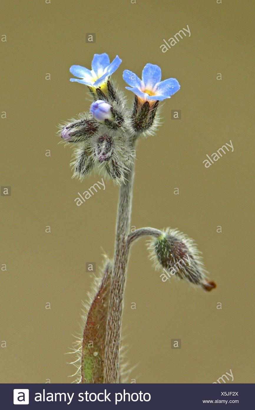 close up van bloeiwijze met knoppen (neergebogen), bloemen (omhoogstaand) en jonge vrucht (weer neergebogen) Stock Photo