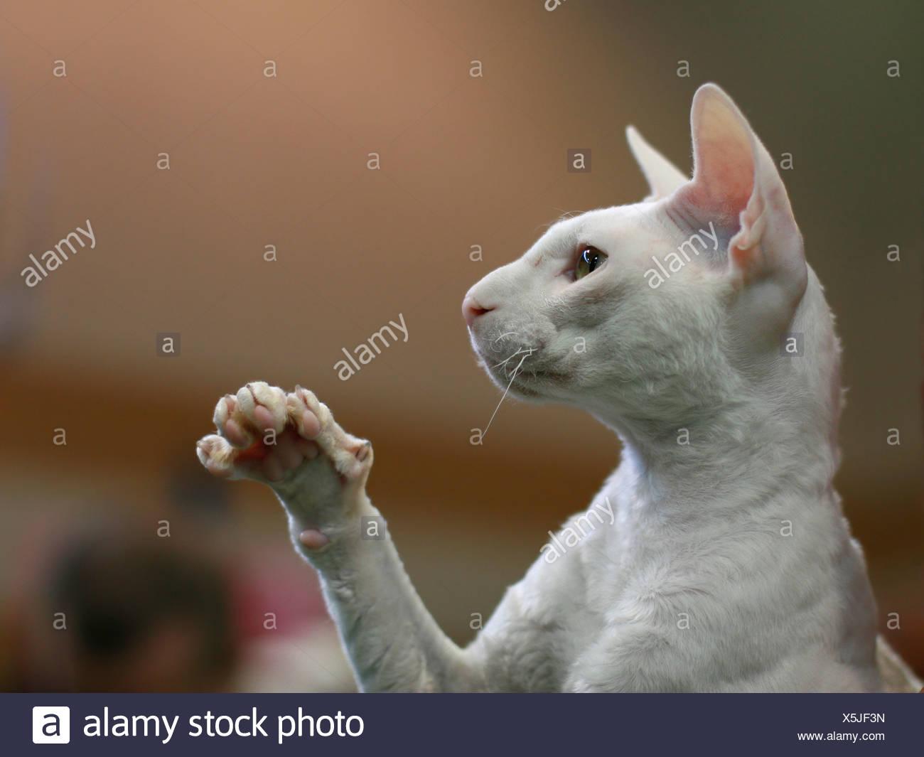 Pedigree hairless Cat - white Cornish Rex. The Cornish Rex has no hair except for down. - Stock Image