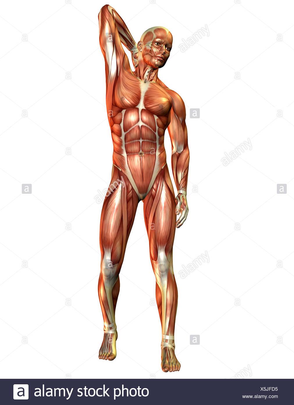 Mann Oberkörper Muskeln Stock Photos & Mann Oberkörper Muskeln Stock ...
