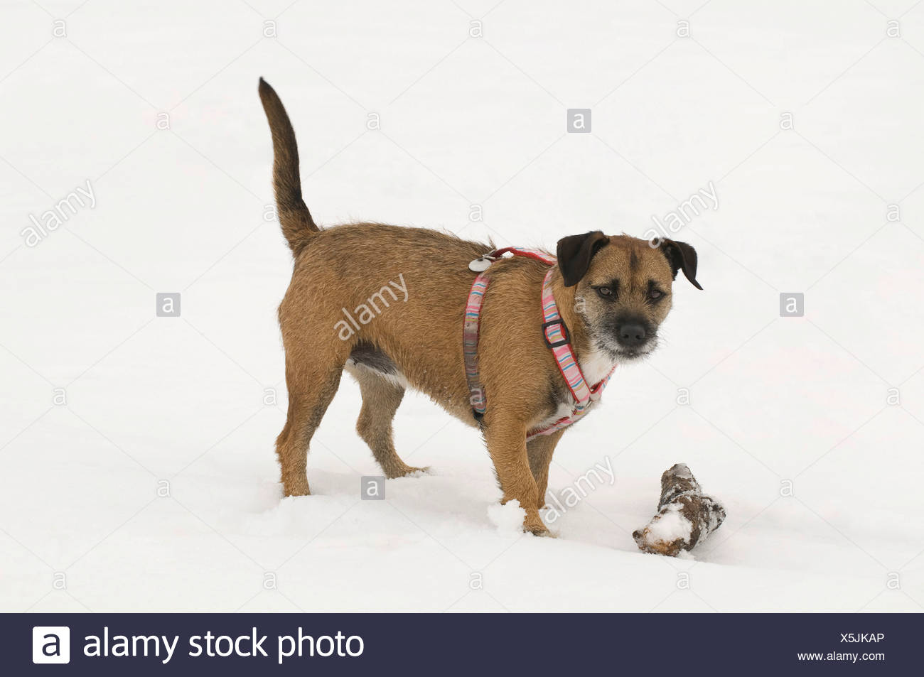 Terrier crossbreed with a branch in the snow, direct view - Stock Image