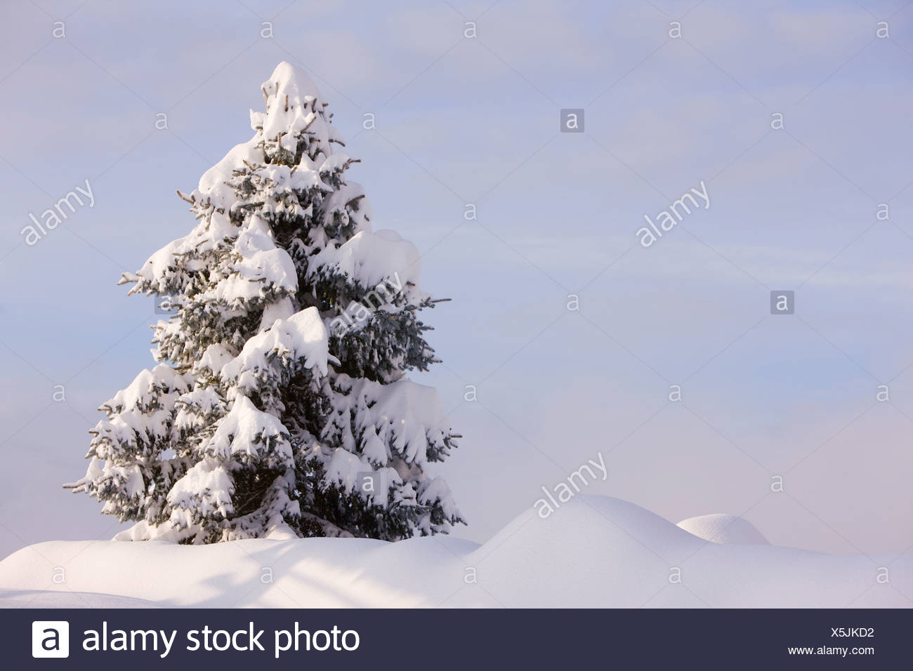 Snow-covered coniferous tree after substantial snowfall, Gailtal valley, Kaernten, Austria, Europe - Stock Image