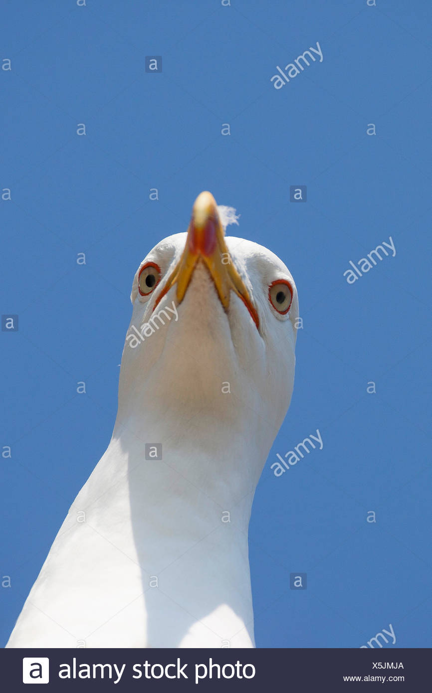 lesser black-backed gull (Larus fuscus), portrait, Germany - Stock Image
