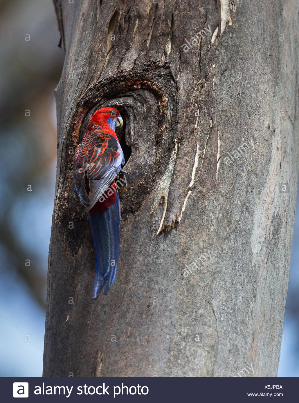 A crimson rosella, Platycercus elegans, at the entrance to its nest in a tree trunk. - Stock Image