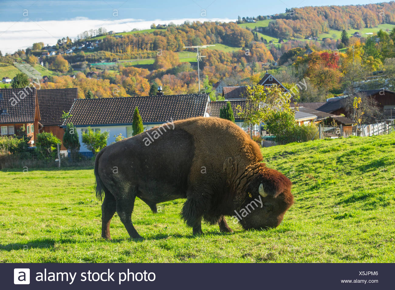 Bison breeding in Lutzenberg, Stock Photo