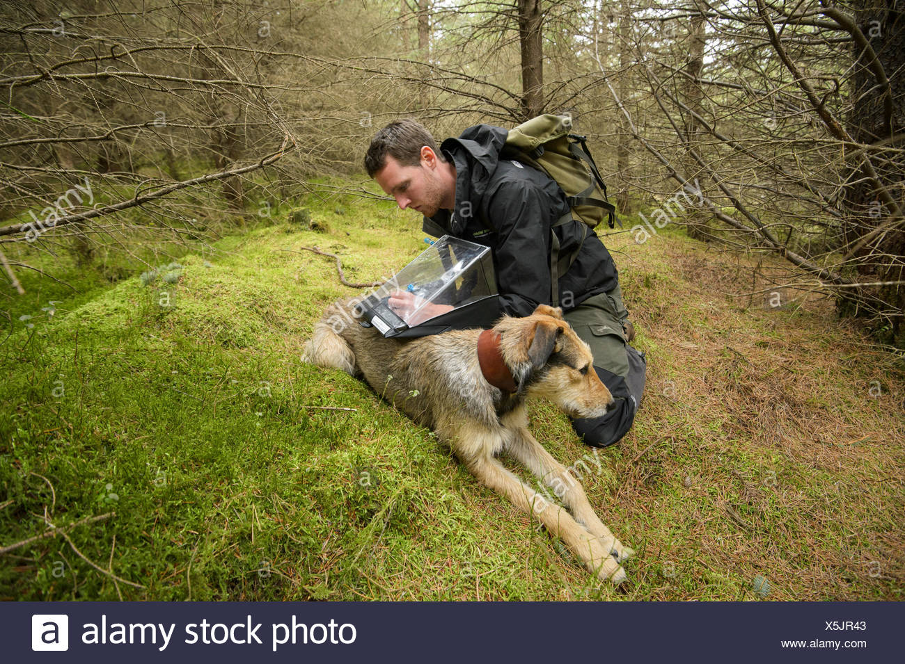 Project Officer Dave Bavin (and his dog Bryn) conducting woodland surveys at potential release sites, Pine Marten Recovery Project, Vincent Wildlife Trust, Ceredigion, Wales, UK 2015 - Stock Image