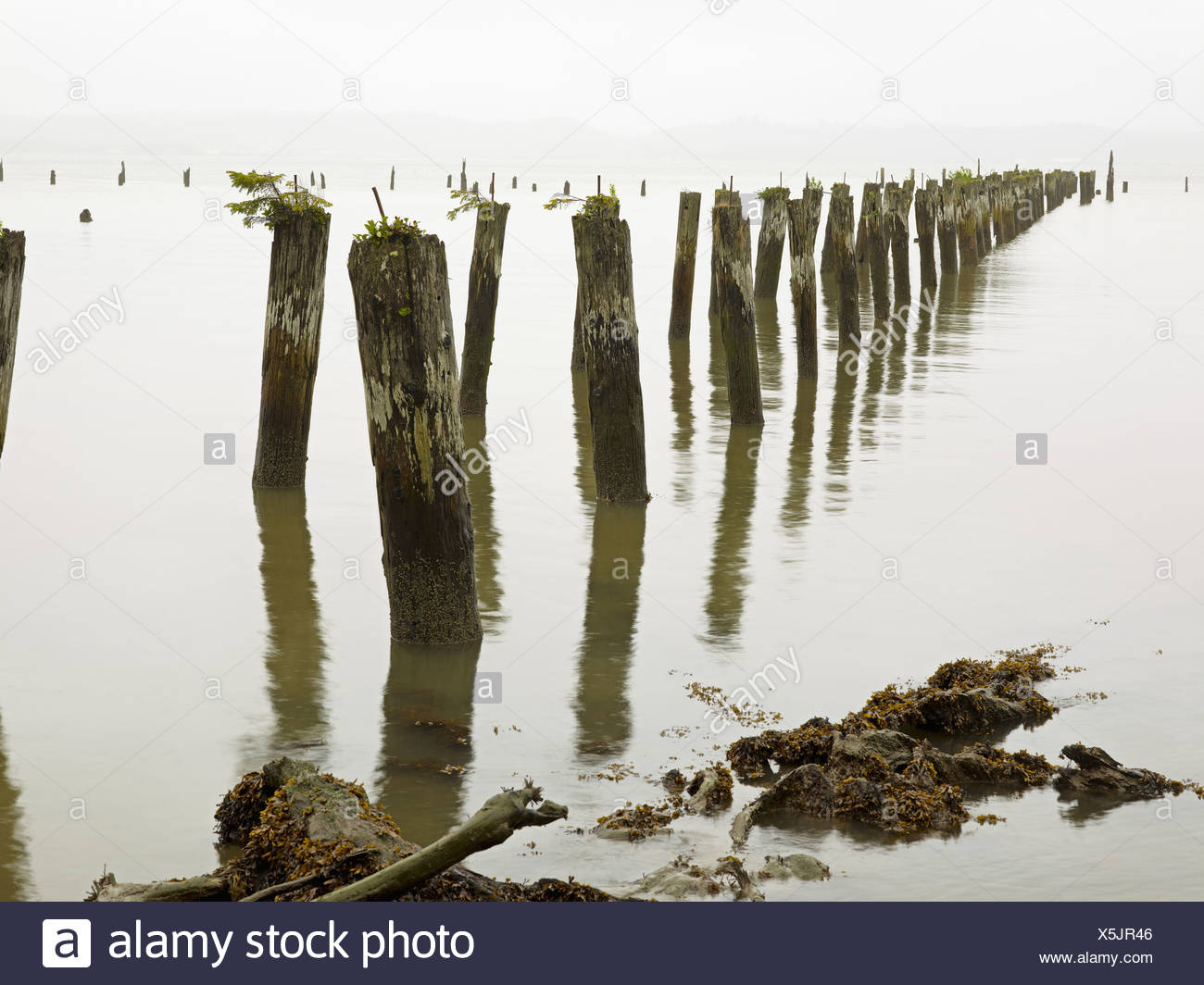 Old pilings standing upright in the shallow water on the beach in Astoria, Oregon, USA - Stock Image