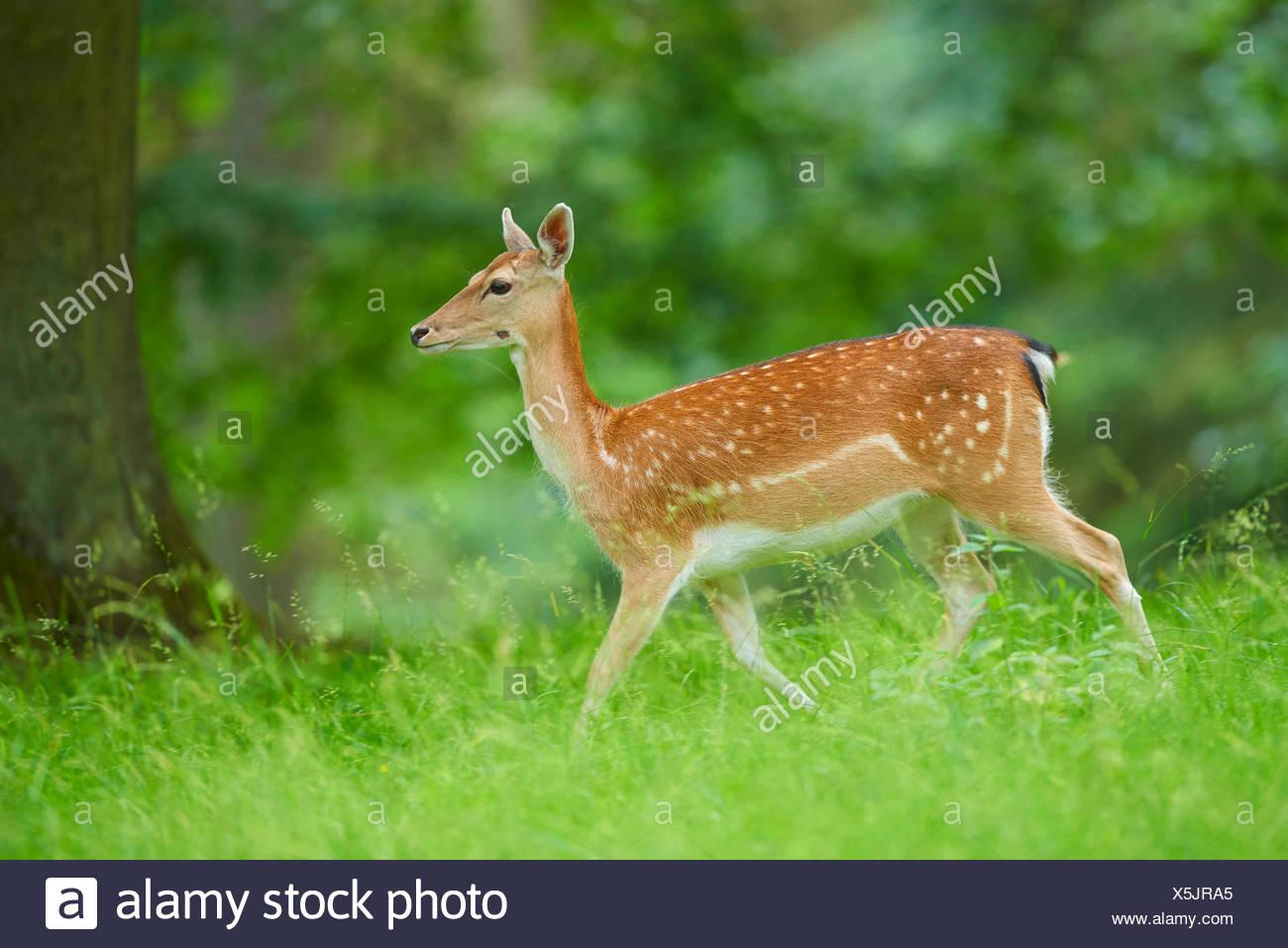 fallow deer (Dama dama, Cervus dama), hind in a meadow, Germany, Bavaria - Stock Image