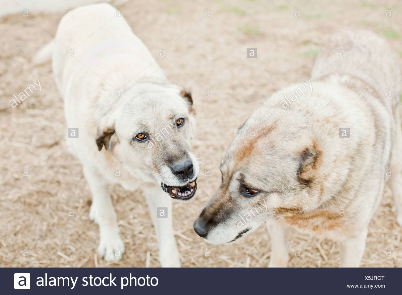 Two dogs on a farm - Stock Image