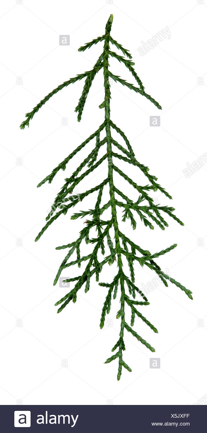 Smooth Arizona Cypress Cupressus glabra (Cupressaceae) - Stock Image