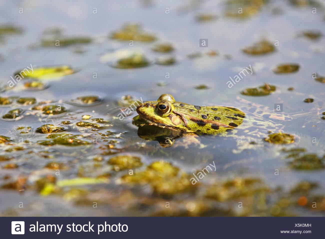 edible frog, rana esculenta - Stock Image