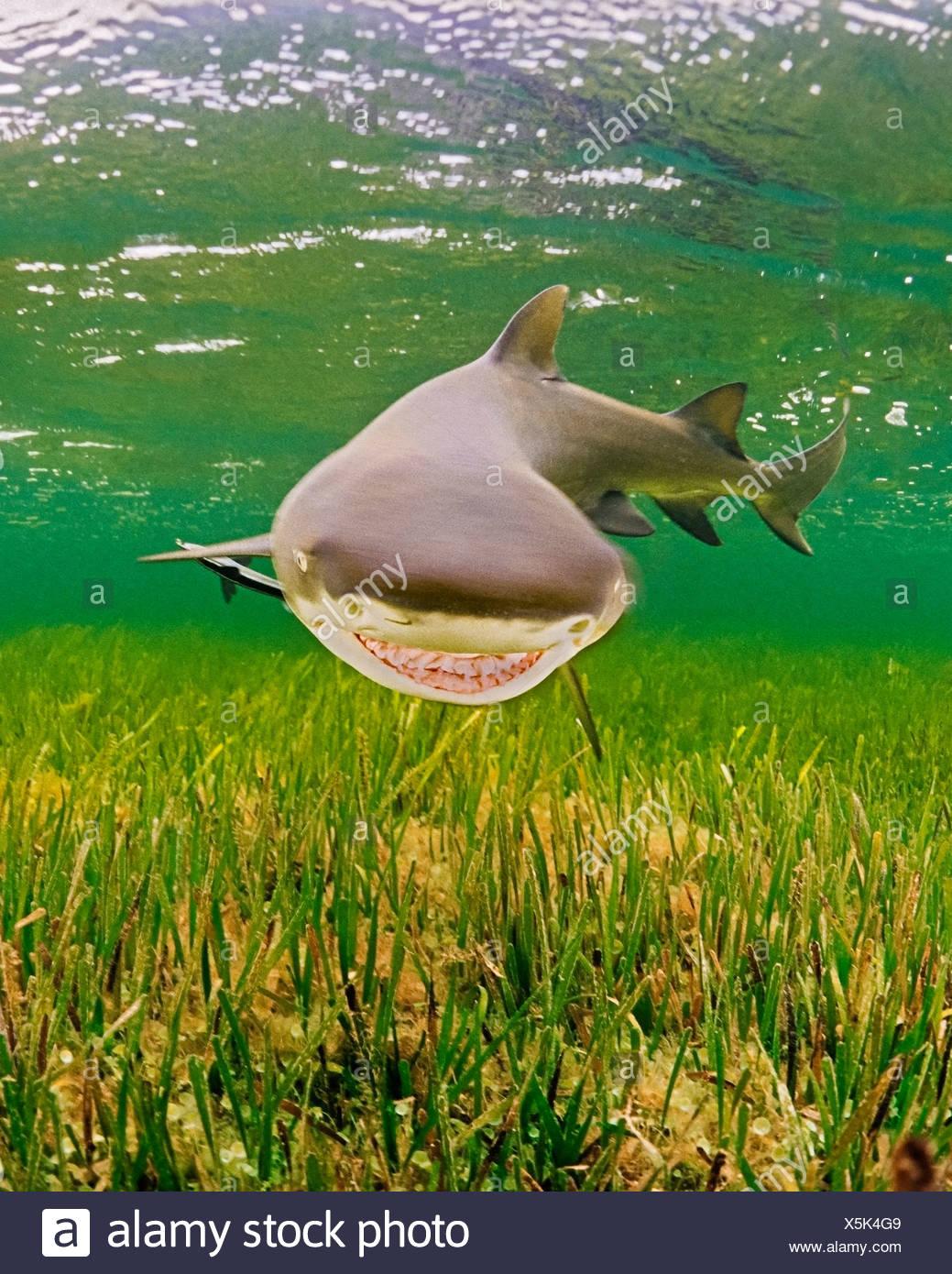 Lemon Shark, Negaprion brevirostris, Key Largo, Florida, USA - Stock Image