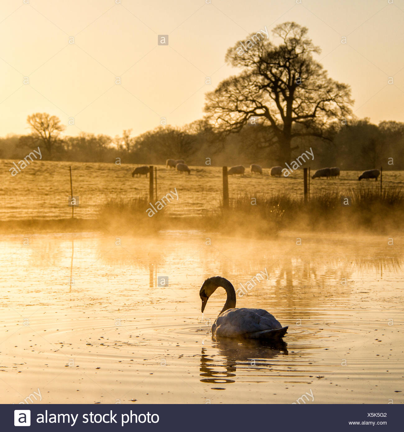 Lake and swan on foreground and sheeps on meadow in background - Stock Image