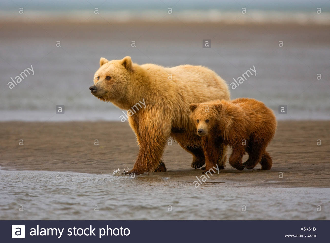A Grizzly Bear sow with cub, Lake Clark National Park, Alaska. - Stock Image