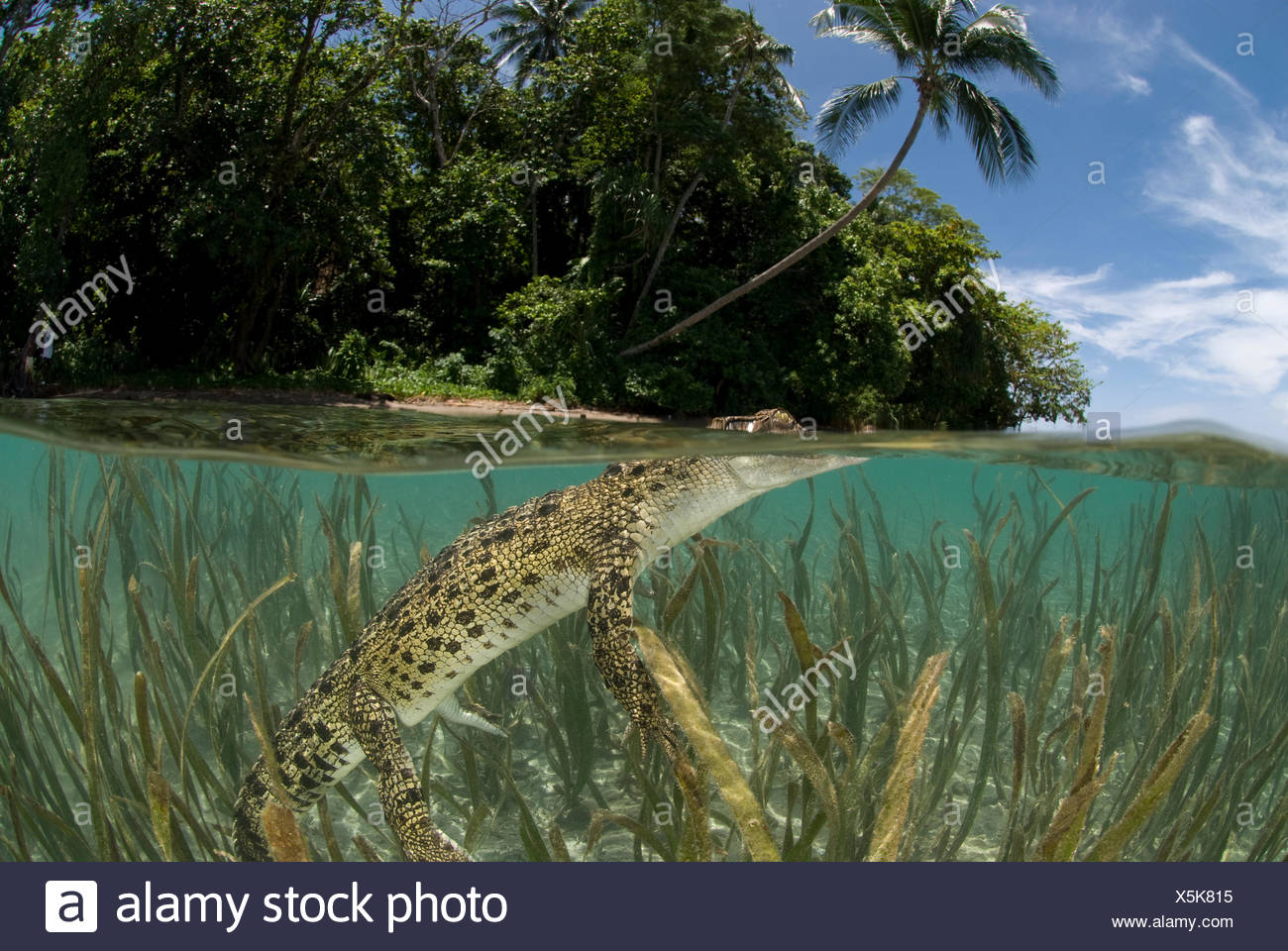 Saltwater crocodile (Crocodylus porosus) swimming at water surface, split-level, amongst eelgrass, New Guinea, Indo-pacific. - Stock Image