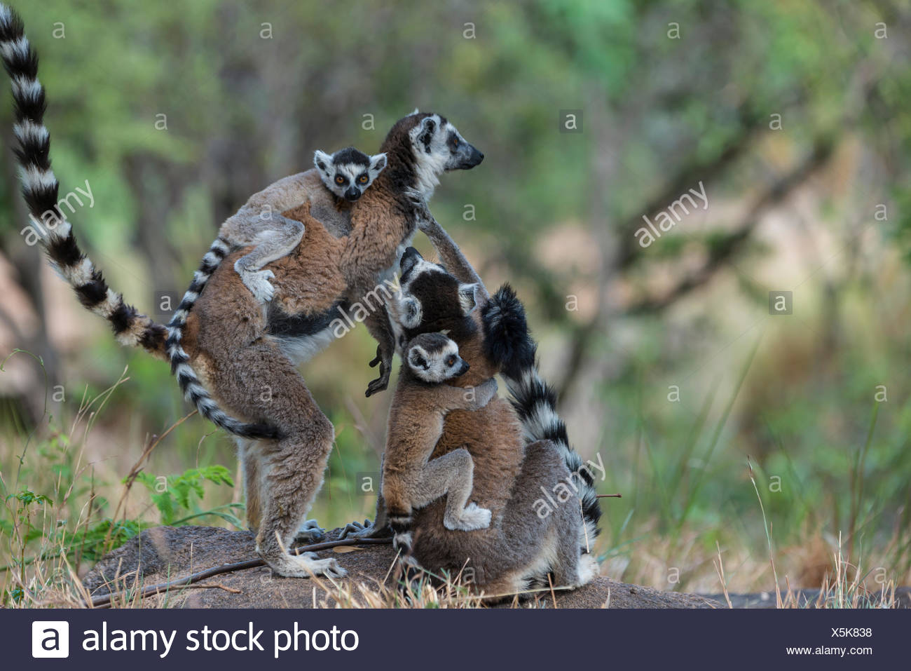 Ring-tailed Lemurs (Lemur catta), adults with young on their backs, Adringitra Region, Madagascar - Stock Image