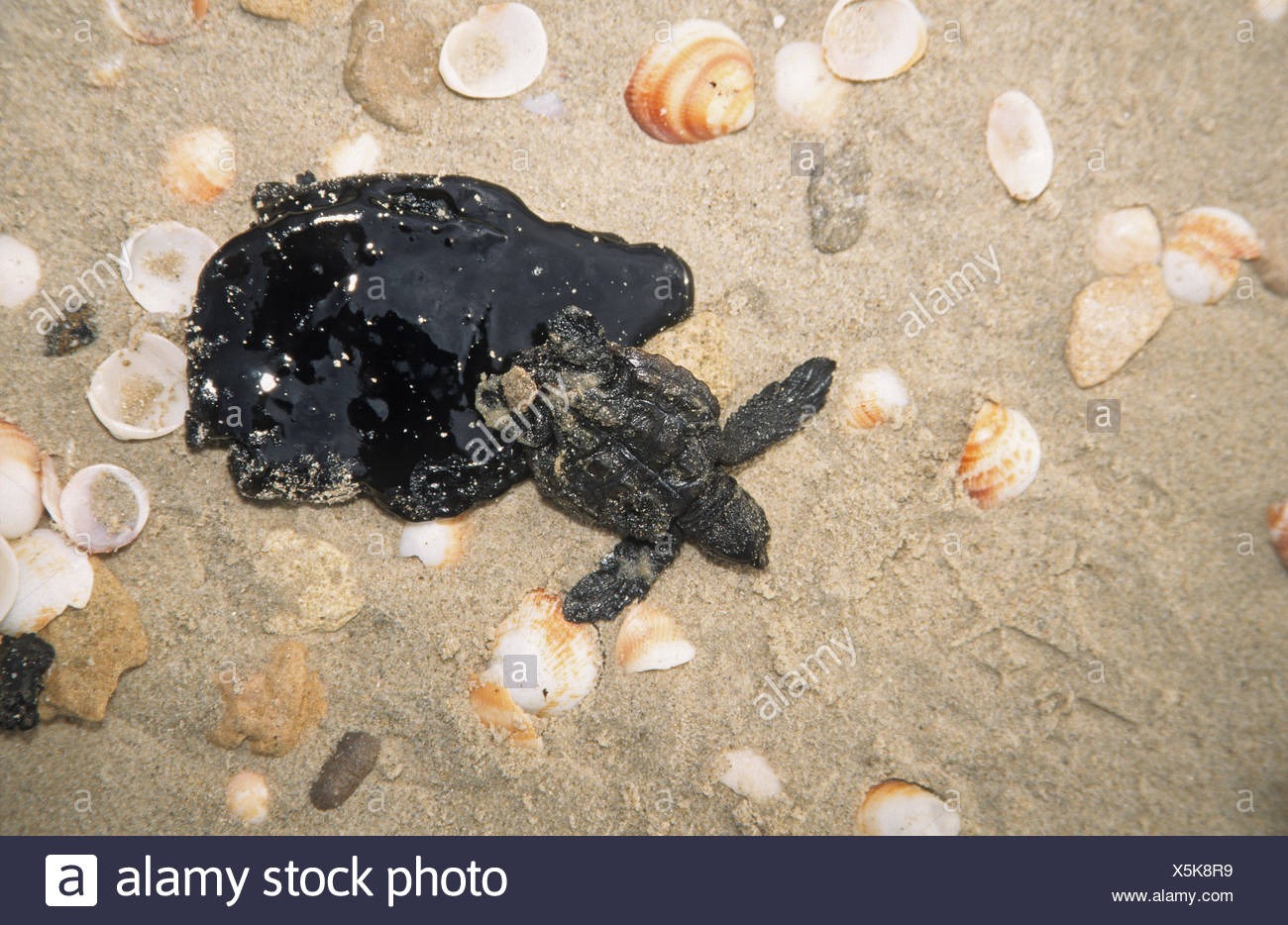 Marine pollution - young sea turtle stuck in crude oil - Stock Image