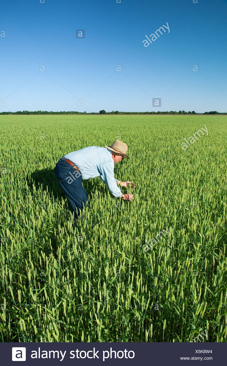 A Farmer (grower) Inspects His Crop Of Soft