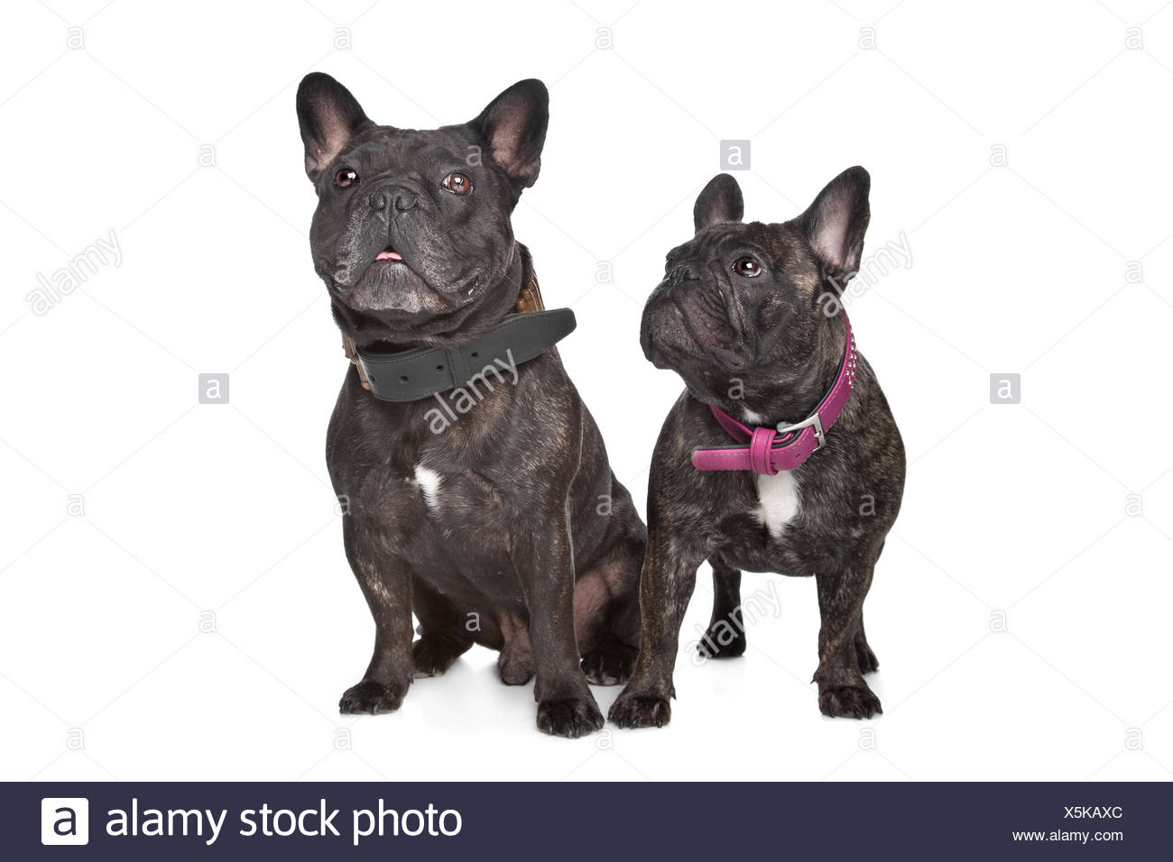 Two Dark Brown French Bulldogs Stock Photo 278864836 Alamy