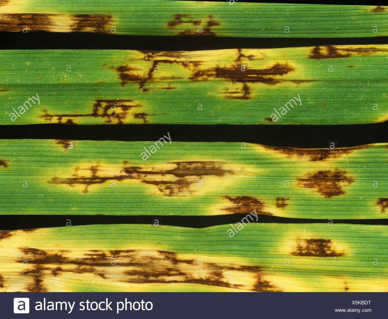 Net blotch Pyrenophora teres lesions on barley leaves - Stock Image