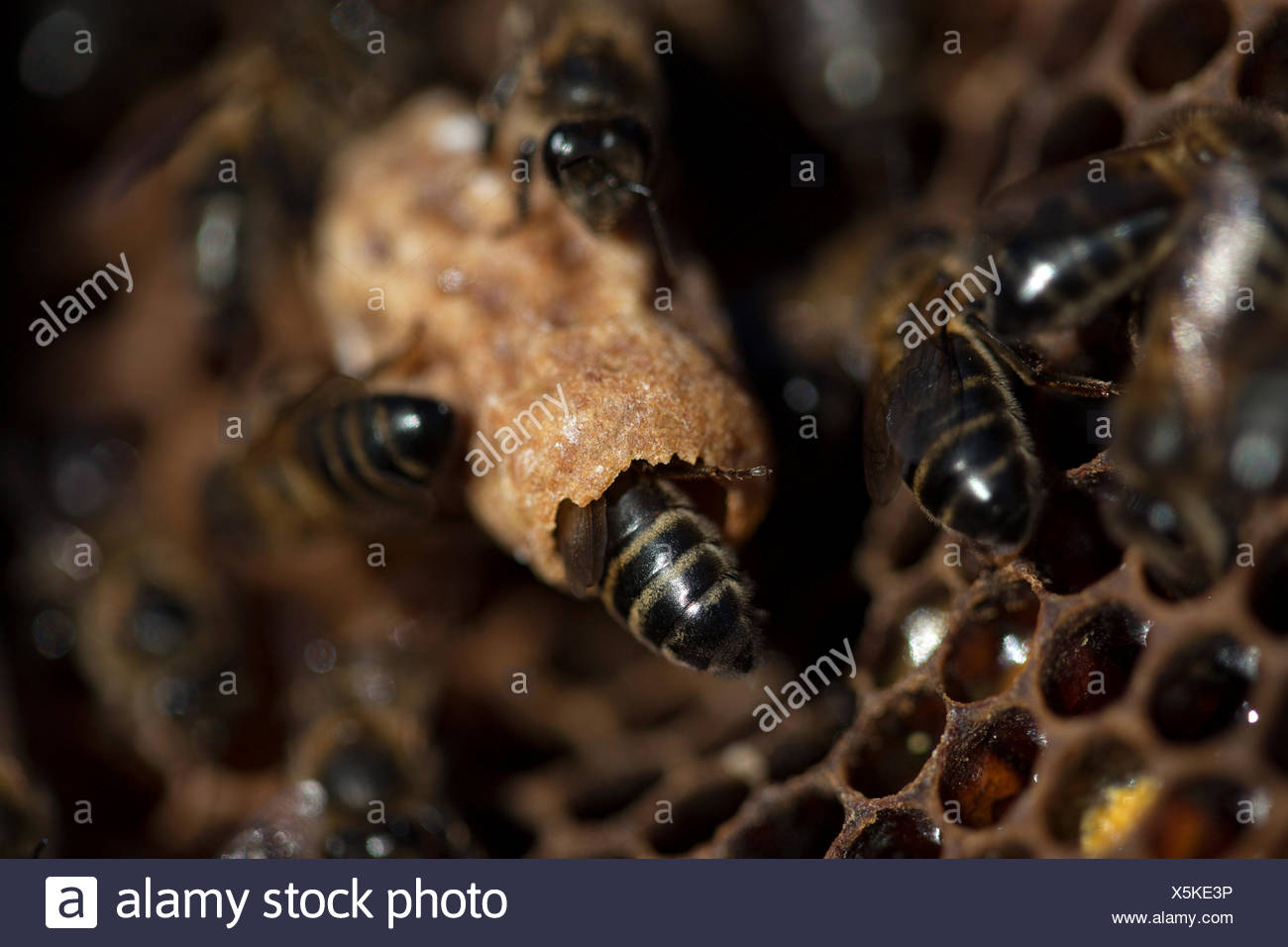Nurse bees take care of a queen bee egg in a queen cup on a beehive of the apiary of Puremiel beekeepers in Arcos de la - Stock Image