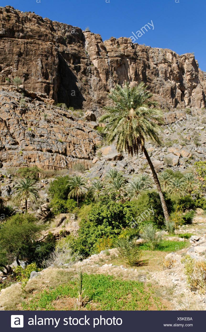 Terraced field at Wadi Misfah, Hajar al Gharbi Mountains, Dhakiliya Region, Sultanate of Oman, Arabia, Middle East - Stock Image