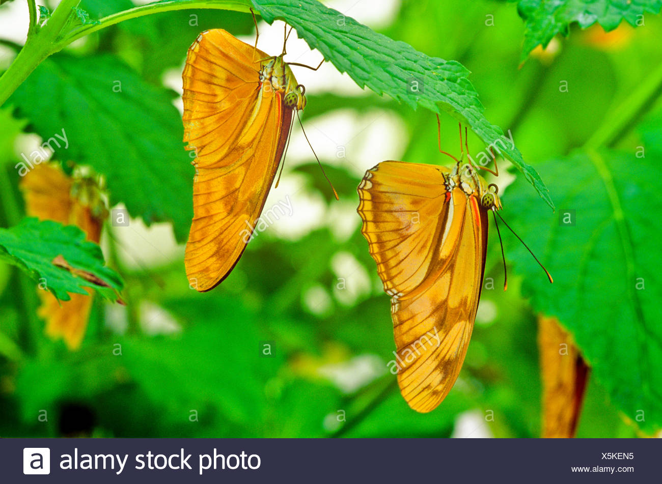 Julia Butterfly, Julia Heliconian, The Flame, or Flambeau Butterfly, (Dryas iulia), ventral view, Butterfly, Adult - Stock Image