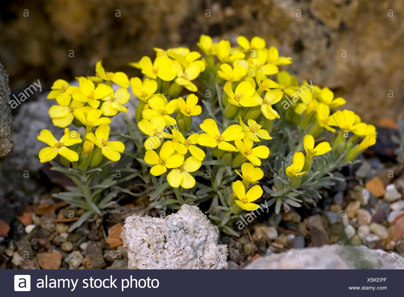 Velebit Degenia  (Degenia velebitica), blooming Stock Photo